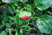 2010陽明山的蛾類:寬緣杜鵑斑蛾交尾