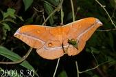 2009陽明山的蛾類:紅目天蠶蛾(雌)