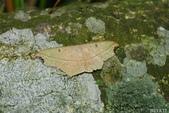 2013陽明山的蛾類:缺口姬尺蛾