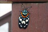 2010陽明山的蛾類:雙星螢斑蛾