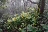 陽明山的野生蘭2015:綠花俏頭蕊蘭