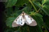 2010陽明山的蛾類:長斑擬燈蛾