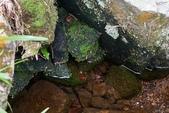 淡水澤蟹:上磺溪的澤蟹