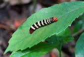 大綠弄蝶:大綠弄蝶終齡幼蟲