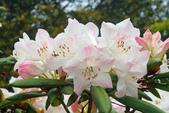 七星山的玉山杜鵑:大自然公園的玉山杜鵑