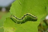 蛾類幼蟲:犁紋黃夜蛾(終齡幼蟲)