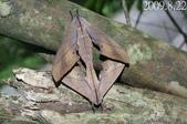 2009陽明山的蛾類:缺六點天蛾