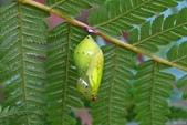 青斑蝶:青斑蝶蛹