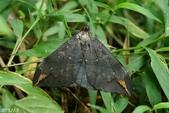 2013陽明山的蛾類:窄藍條裳蛾