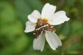 2009陽明山的蛾類:甜菜白帶野螟蛾