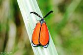 2010陽明山的蛾類:寬緣杜鵑斑蛾(雄)