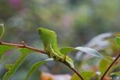 烏鴉鳳蝶:烏鴉鳳蝶終齡幼蟲