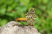 黑端豹斑蝶:黑端豹斑蝶交尾