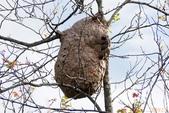 虎頭蜂:虎頭蜂窩