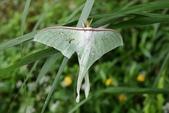 2009陽明山的蛾類:長尾水青蛾