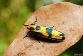 2014陽明山的蛾類:閃光苔蛾