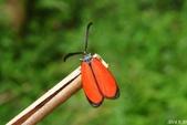 2014陽明山的蛾類:寬緣杜鵑斑蛾,雄