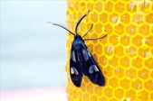 2010陽明山的蛾類:透翅碩斑蛾(雄)
