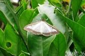 2009陽明山的蛾類:黃楊木蛾