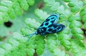 2010陽明山的蛾類:蓬萊藍紋斑蛾(雌)