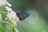大綠弄蝶:大綠弄蝶.