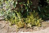 陽明山的蕨類(ㄧ):生根卷柏