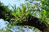 陽明山的蕨類(ㄧ):瓦葦