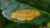 2013陽明山的蛾類:雙點內弧尺蛾(雌)