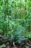 陽明山的野生蘭:長葉杜鵑蘭