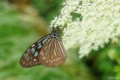 青斑蝶(大絹斑蝶):琉球青斑蝶