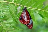 青斑蝶:青斑蝶羽化