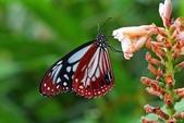 青斑蝶:青斑蝶