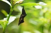 蛺蝶蛹(二):黃三線蝶蛹