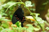 烏鴉鳳蝶:烏鴉鳳蝶♀-羽化