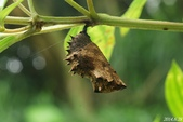 蛺蝶蛹(二):琉球紫蛺蝶-蛹
