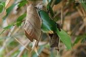 2010陽明山的蛾類:大灰枯葉蛾
