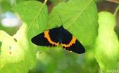 2014陽明山的蛾類:橙帶藍尺蛾