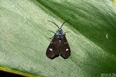 2010陽明山的蛾類:綠頸小斑蛾?