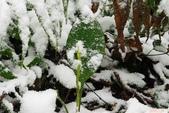 滿綠隱柱蘭:滿綠隱柱蘭雪景