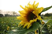 女兒員農爬草皮:向日葵