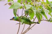 五色鳥 Megalaima nuchalis :DSC_7611_00002.jpg