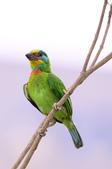 五色鳥 Megalaima nuchalis :DSC_7627_00009.jpg