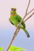 五色鳥 Megalaima nuchalis :DSC_7622_00007.jpg