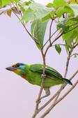 五色鳥 Megalaima nuchalis :DSC_7614_00003.jpg