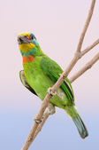 五色鳥 Megalaima nuchalis :DSC_7623_00008.jpg