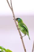 五色鳥 Megalaima nuchalis :DSC_7630_00011.jpg