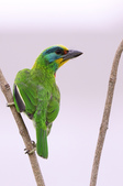 五色鳥 Megalaima nuchalis :DSC_7632_00012.jpg