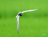 白翅黑燕鷗:110516羅東白翅黑燕鷗_505.jpg