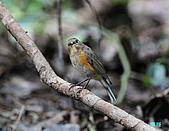 野柳藍尾鴝母鳥:101121藍尾鴝母鳥_026.jpg