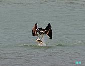 廣興的魚鷹:101109廣興魚鷹_085.jpg